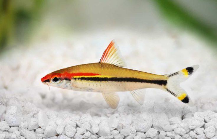 Red-line torpedo barb aquarium fish