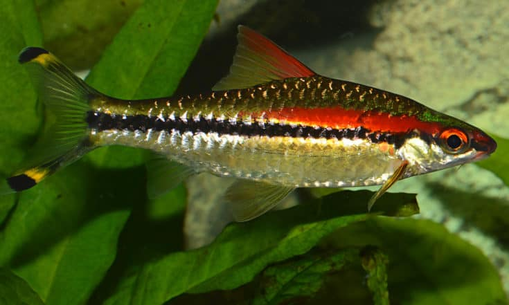 A species of cyprinid fish endemic to the fast-flowing hill streams and rivers of the Western Ghats in India.