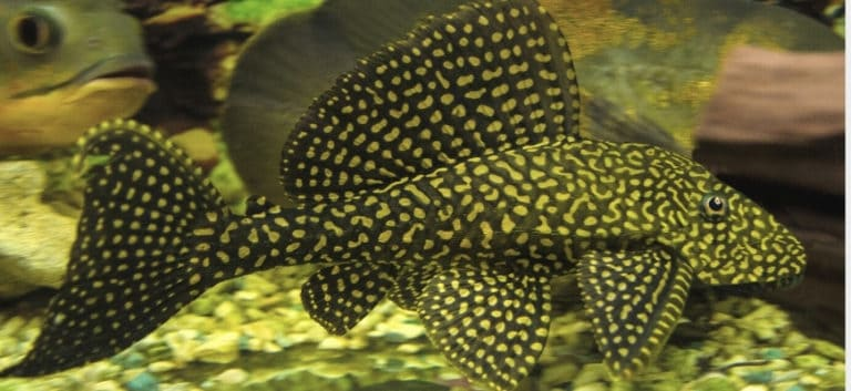 Sailfin Pleco swimming with substrate at the bottom