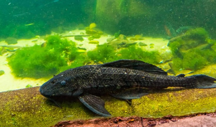 closeup of a suckermouthed catfish, popular spotted pleco for the aquarium, tropical fish specie from America