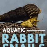 Aquatic Rabbit Snails: Freshwater Invertebrate Care Guide - Pin
