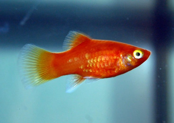 Coral Platy (Xiphophorus maculatus)