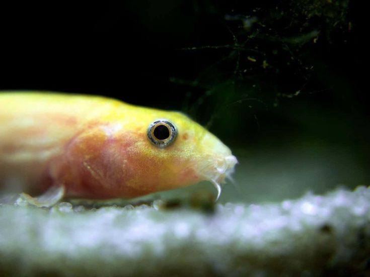 Half Yellow Dojo loach on the bottom of aquarium.