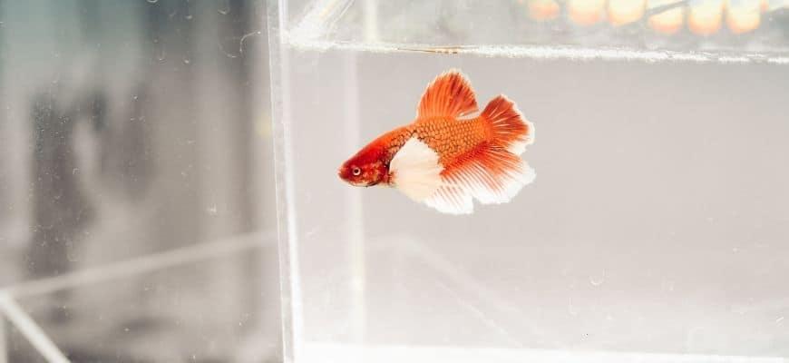 Betta Fish inside a small tank