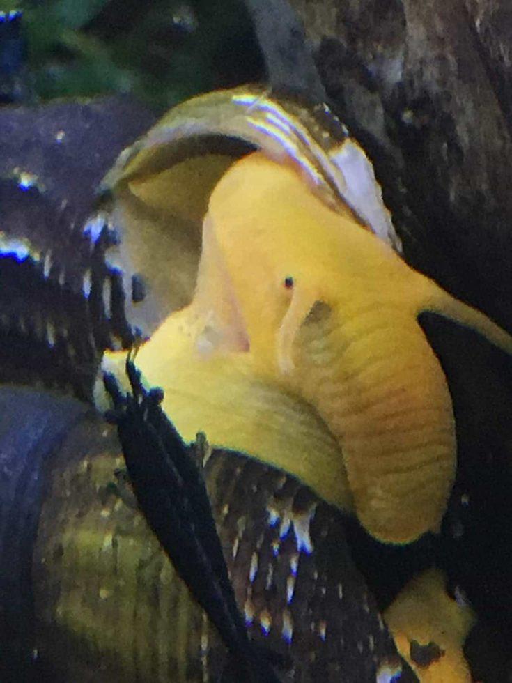 Focused shot of Orange Poso Sulawesi Rabbit Snails