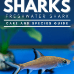 Silver Bala Sharks: Freshwater Shark Care and Species Guide - pin