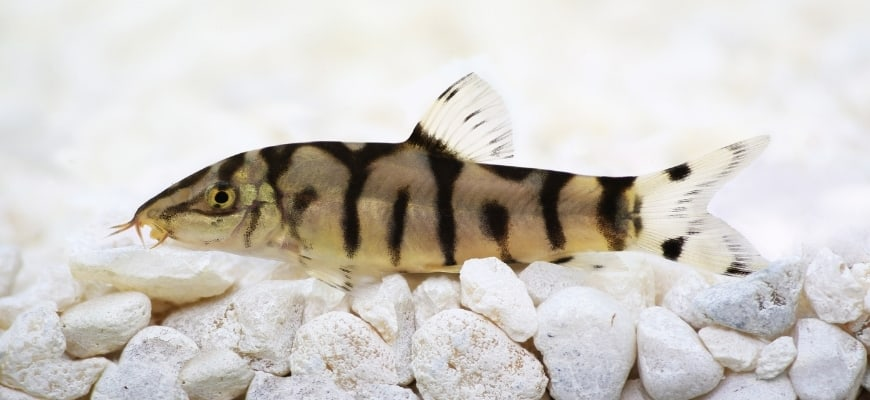 Yoyo Loach at the top of white substrate