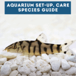 Yoyo Loach: Aquarium Set-Up, Care and Species Guide - Pin