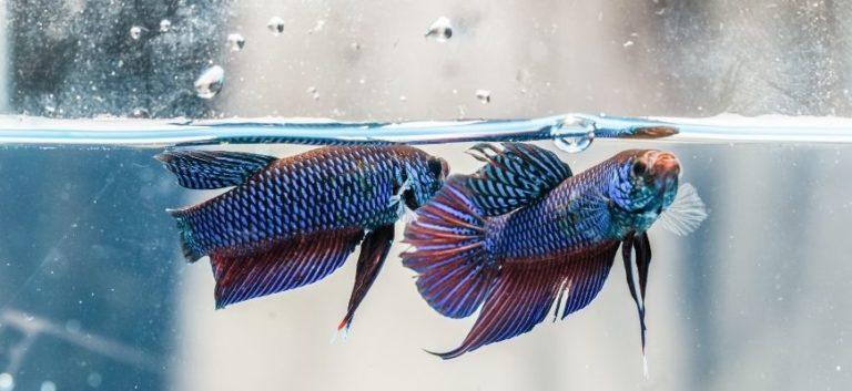 2 Betta Fishes swimming