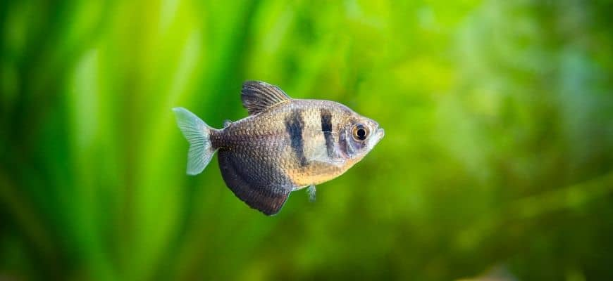 Black Skirt Tetra in blurry green background