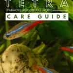 Cardinal Tetra (Paracheirodon axelrodi) Care Guide - pin
