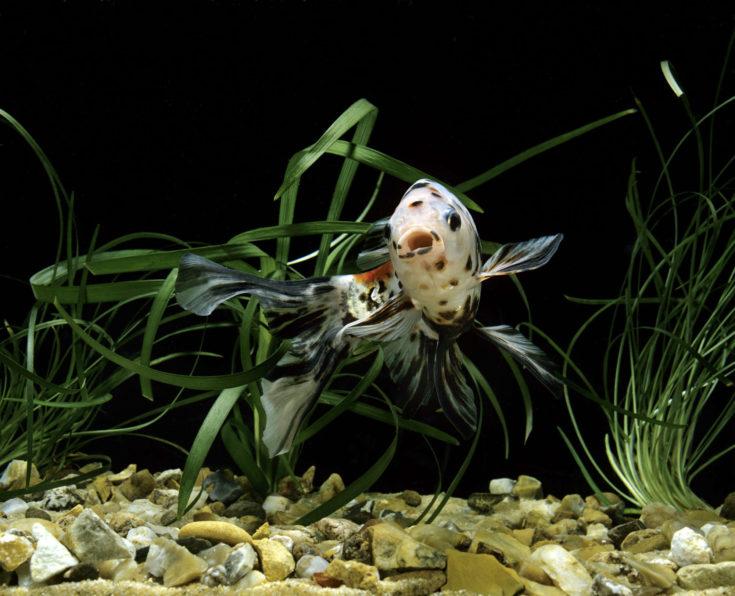 Shubunkin Goldfish, carassius auratus, Aquarium Fish