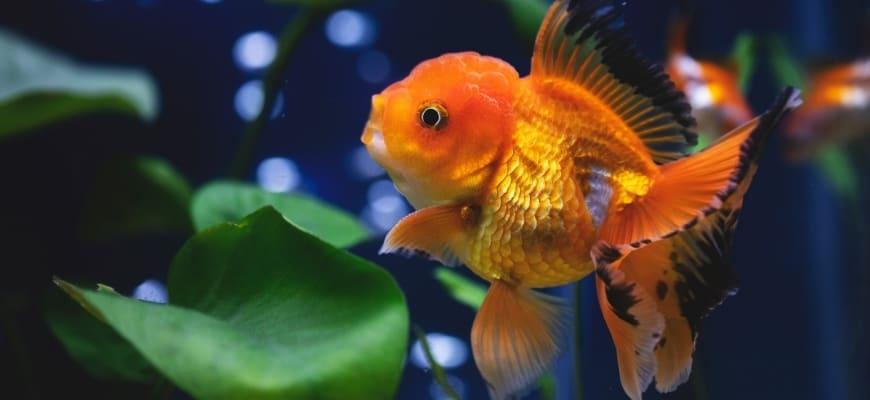 Large Oranda Goldfish in aquarium