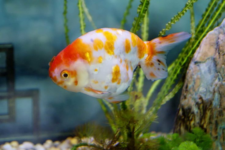Goldfish Shubunkin. This is a breeding form Of goldfish, bred in Japan.