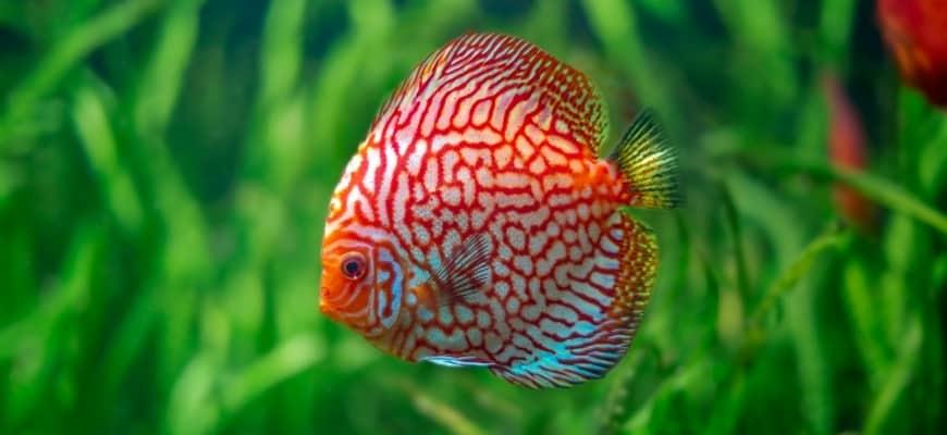 Discus fish inside tank