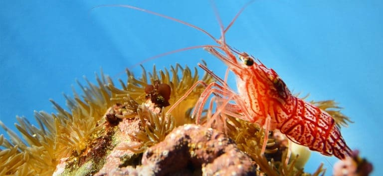 Red stripe shrimp on top of reef.