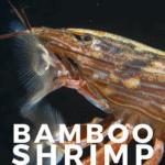 Bamboo Shrimp (Atyopsis moluccensis) Care Guide - pin