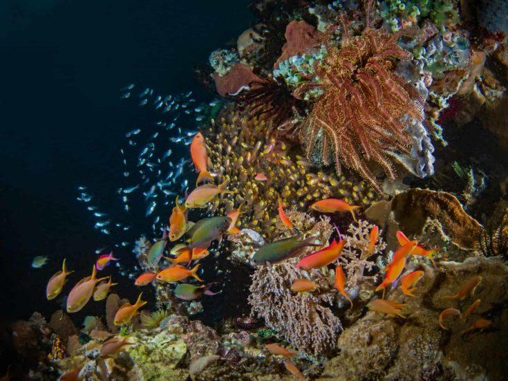 Basslet and Golden Sweeper, Fahnenbarsche und Glasfische im Korallenriff