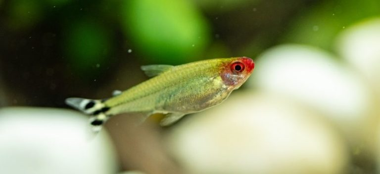 Rummy Nose Tetra in blurry background