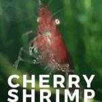 Cherry Shrimp (Neocaridina davidi) - Feeding, Mates, and Care - pin