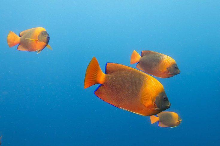 Clarion angelfish (Holacanthus clarionensis)