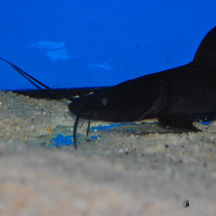 Crystal-eyed Catfish (Hemibagrus wyckii)