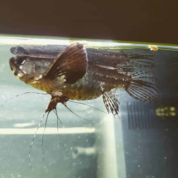 Freshwater African Butterflyfish (Pantodon buchholzi)