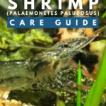 Ghost Shrimp (Palaemonetes Paludosus) - Care Guide - pin