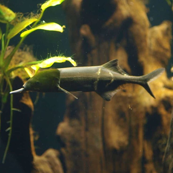Elephantnose Fish (Gnathonemus petersii)