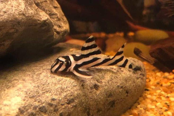 Hypancistrus Zebra Pleco Juvenile