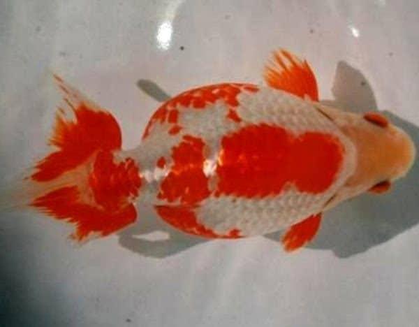 Izumo Nankin Goldfish (Carassius auratus)