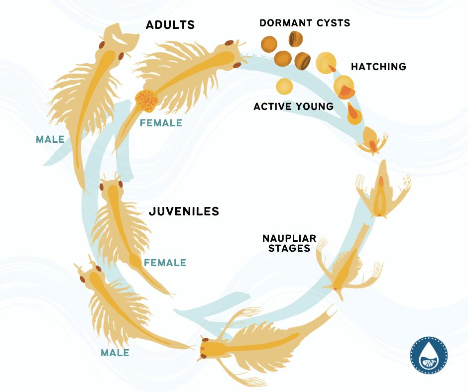 Mini Graphics for Brine Shrimp (Artemia) - Feeding, Life Cycle, And Care Guide