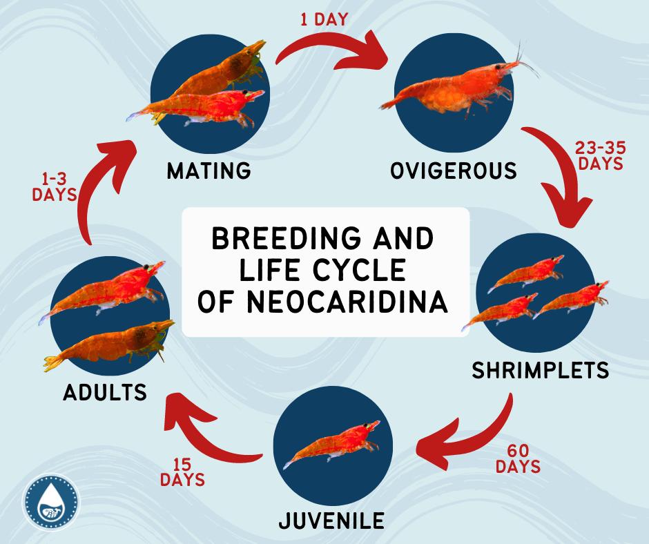 Mini Graphics for Cherry Shrimp (Neocaridina davidi)