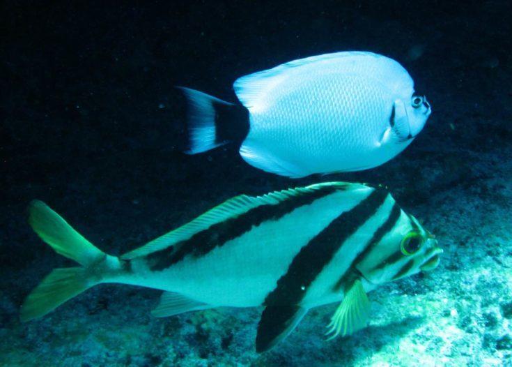 Morwong (Cheilodactylus vittatus) foreground - masked angelfish