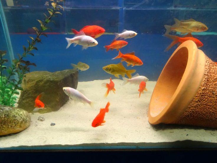 Red, white, brown goldfish / comets, coldwater, freshwater aquarium fish tank