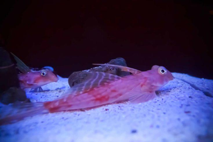 Sea Robin or Gurnard (Dactyloptena orientalis)