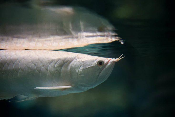 Silver arowana fish Scleropages aureus. Vintage textured paper background. soft focus