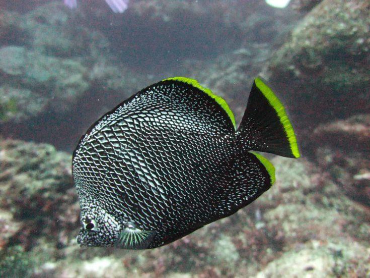 Wrought Iron Butterflyfish (Chaetodon daedalma)