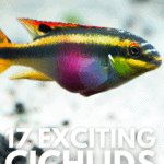 17 Exciting Cichlids for Every Freshwater Tank - pin