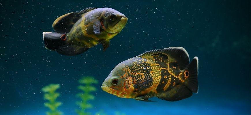 2 fishes in dark blue background