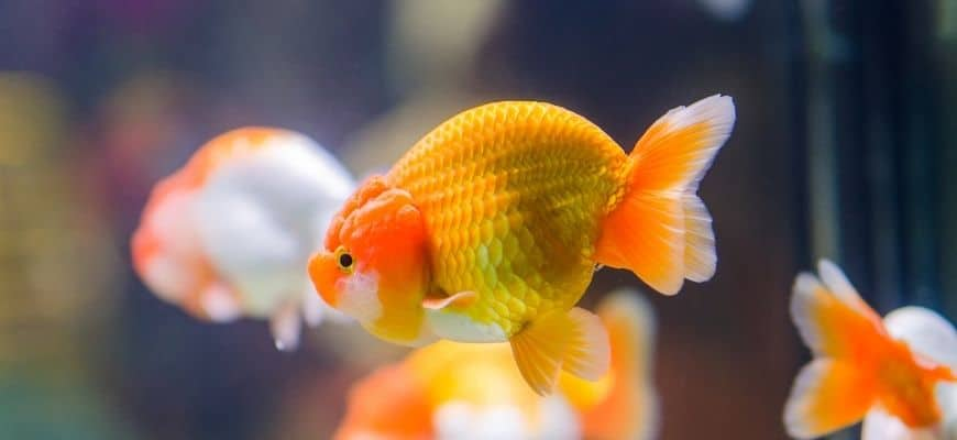 Bloated Goldfish with blurry fishes background