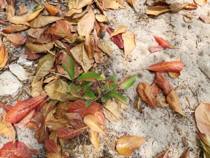 Beautiful foliage of terminalia catappa trees.