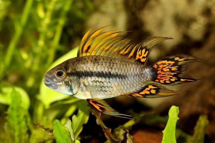 Cockatoo Dwarf Cichlid Apistogramma cacatuoides aquarium fish