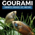 Dwarf Gourami - Tankmates, Diseases, Size, and Care - pin