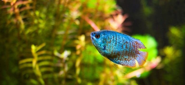 Dwarf Gourami swimming with blurry plants at the back