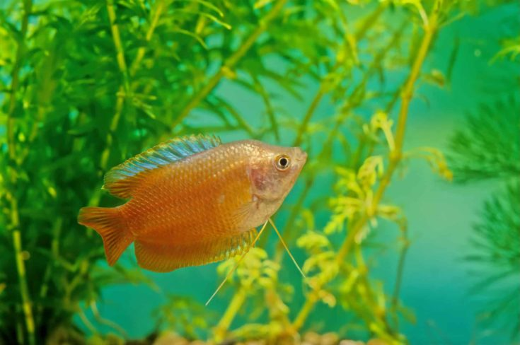 The dwarf gourami (Trichogaster lalius) is a species of gourami native to South Asia.