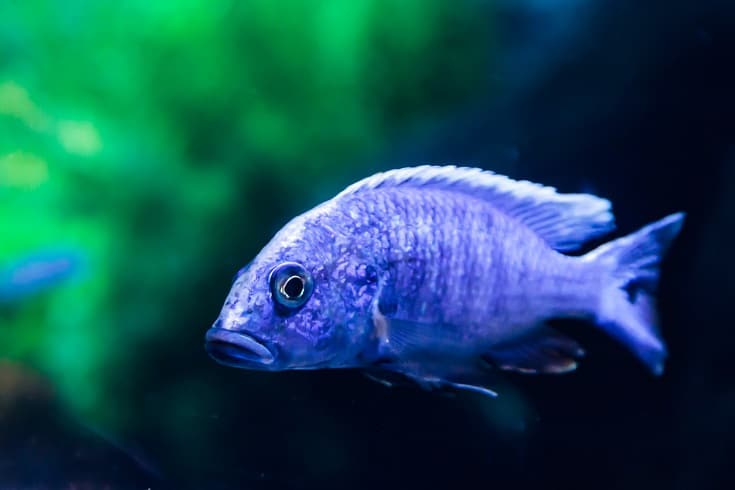 Electric Blue Cichlid in blurry background