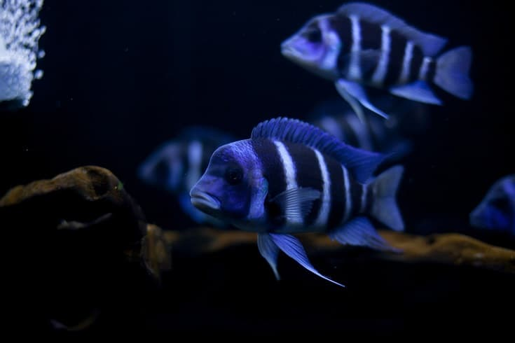 The frontosa Cichlid, fish in tank