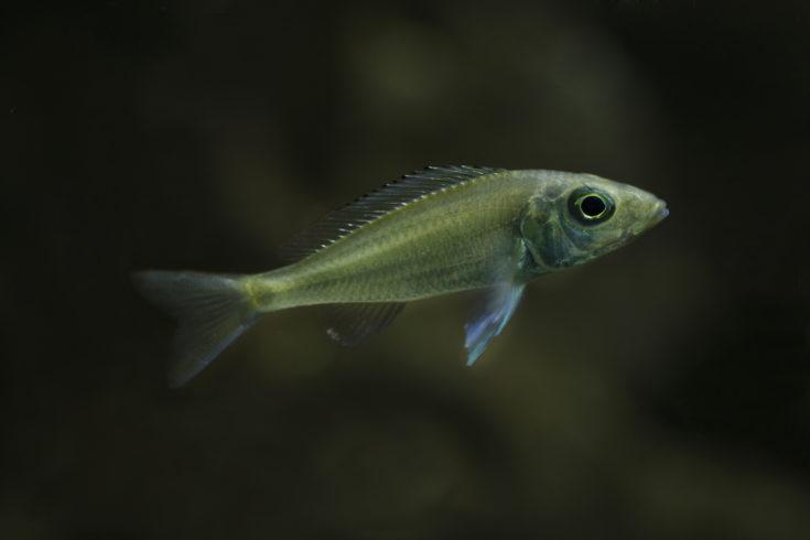 Female guppy endler in freshwater aquarium. Poecilia reticulata.