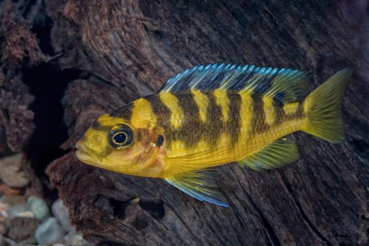 Portrait of Cichlid Fish (Pseudotropheus Crabro) in Aquarium